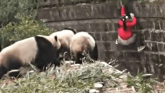 Té ngã vào chuồng gấu trúc, bé gái hoảng loạn khi 2 con vật tiến đến gần nhưng thái độ tiếp theo của chúng khiến ai cũng bất ngờ
