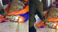 Phát hiện con hổ nặng 250kg bị điện giật nằm bất tỉnh trong nhà dân ở Hà Tĩnh