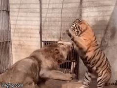 Hổ liên tục khiêu khích và tung quyền thẳng mặt sư tử