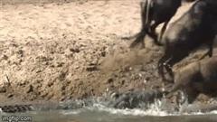 Cố ngoạm chặt linh dương không buông, cá sấu bất ngờ 'lặn mất tăm' một cách khó hiểu