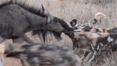 Đuối sức vì chạy trốn kẻ thù, linh dương đầu bò 'đứng im' cho bầy chó hoang cắn xé