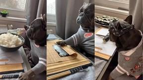 Chú chó bull Pháp trổ tài làm sushi chuyên nghiệp gây ấn tượng