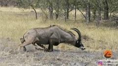 Suýt bị sư tử ăn thịt, linh dương lê lết tìm cách thoát thân