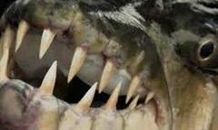 """Cận cảnh săn cá hổ """"bạo chúa"""" trên sông Congo"""