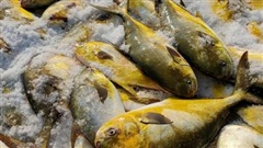Trúng 'mẻ vàng' cuối năm, ngư dân thu gần 600 triệu đồng sau một đêm