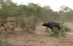 Định săn trâu rừng mà bị phát hiện, sư tử hoảng loạn tháo chạy trước sự hung hãn của con mồi