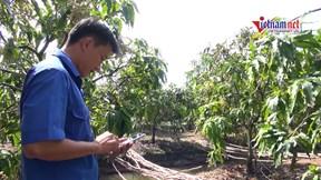 Vườn xoài 5.000m2 trĩu trái nhờ ứng dụng công nghệ cao