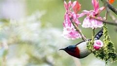 Ngẩn ngơ chiêm ngưỡng loài hoa đào chuông quý hiếm trên đỉnh Bà Nà