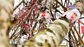 Đào rừng gắn tem truy xuất xuống phố Hà Nội, chờ khách 'đón về' chơi Tết