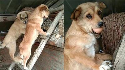 Màn bắt quả tang không nhịn được cười: Chó mẹ rủ con đi ăn trộm trứng gà, bị chủ phát hiện bắt giữ nguyên hiện trạng