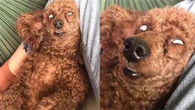 Chó cưng khoe dáng ngủ bá đạo, mắt trợn trừng lộ lòng trắng dã khiến trộm nhìn còn thấy 'hoảng hốt'