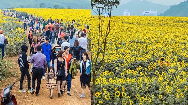 Cánh đồng hoa hướng dương tại Nghệ An khoe sắc vàng bạt ngàn, du khách thập phương nô nức đến check in
