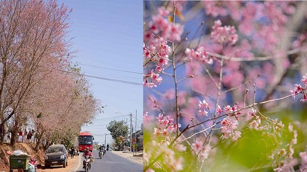 Tháng 1 hoa mai anh đào nở bung rực rỡ, nhiều người đổ xô đến Đà Lạt check-in với sắc hồng tuyệt đẹp