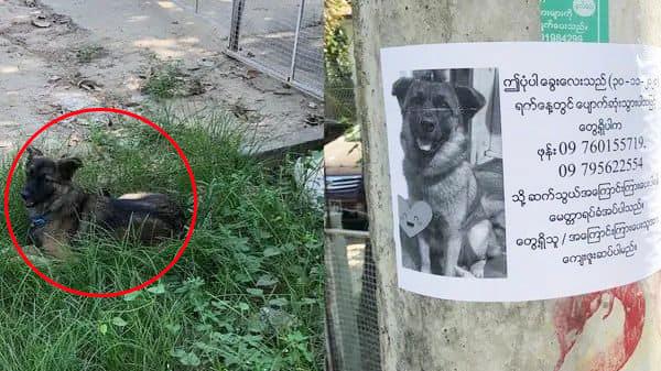 Kinh ngạc chú chó đi lạc thấy chân dung in trên tờ rơi giống mình, ngoan ngoãn nằm đợi chủ đón về