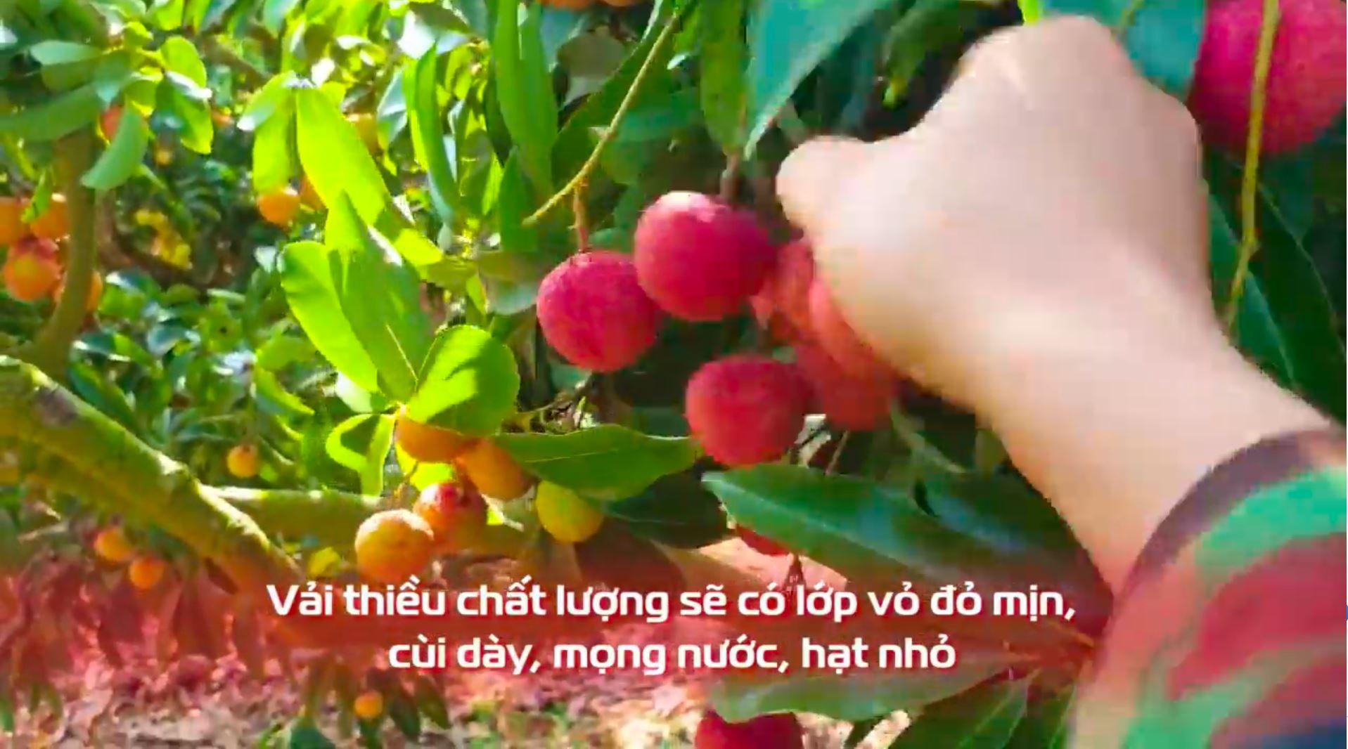 MC Quyền Linh livestream hỗ trợ bán vải thiều Bắc Giang, chốt mau lẹ 700kg 1