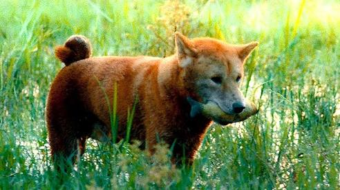 Hé lộ những hình ảnh đầu tiên về chú chó Shiba đóng trong phim 'Cậu Vàng'