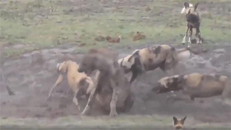 Video: Vác bụng bầu đi săn mồi, linh cẩu bị cả bầy chó hoang châu Phi đánh hội đồng