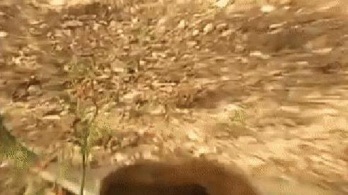 Hổ mang chúa hoảng loạn khi đụng độ cầy Mangut: Con rắn độc bị dính đòn ra sao?