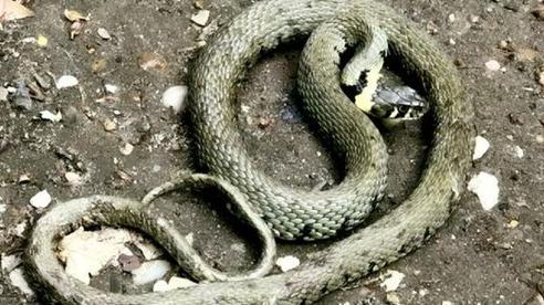Đang đi dạo, người đàn ông hoảng hốt vì suýt bị rắn 'từ trên trời' rơi trúng đầu