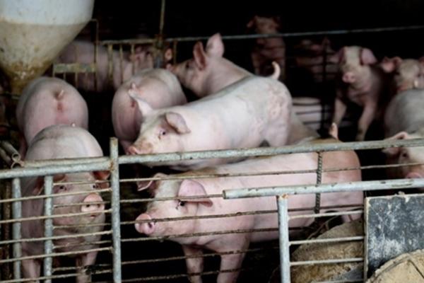 Một trang trại chăn nuôi lợn ở Trung Quốc. (Ảnh: Tân Hoa Xã)