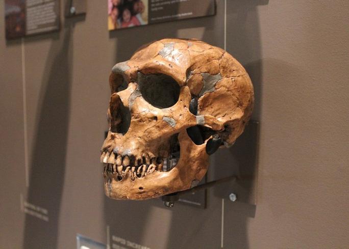 Hộp sọ Neanderthals - Ảnh: BẢO TÀNG LỊCH SỬ TỰ NHIÊN UTAH