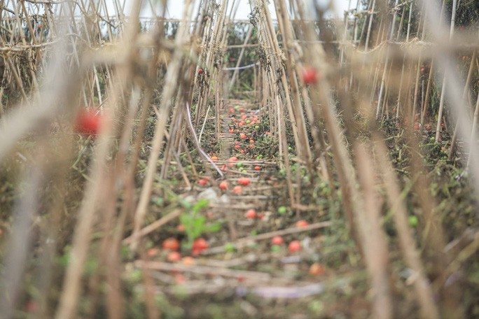 Cà chua không được người dân thu hoạch rụng đầy đất