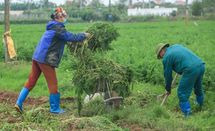 Hai vợ chồng gia đình ông Bùi Văn Thụ (54 tuổi) tại xã Nhân Huệ đang thu dọn những lứa rau cũ đem đi vứt bỏ