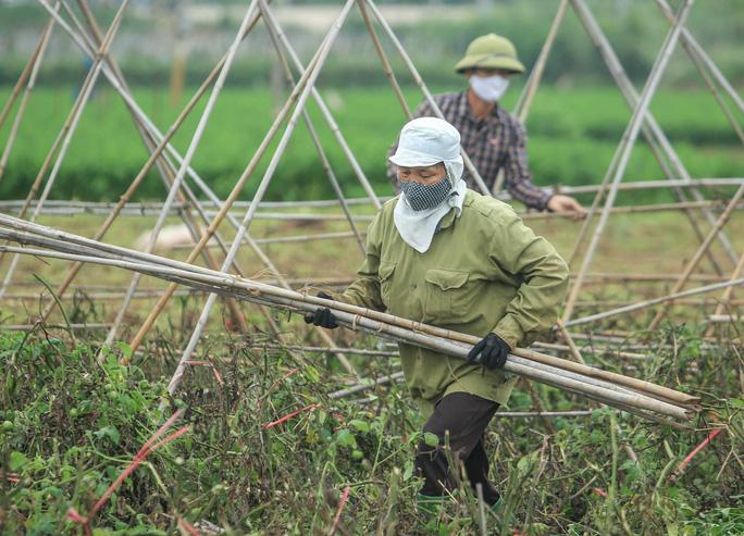 Người dân đang thu dọn những cây sào để cho cà chua leo nhằm tái sản xuất lứa mới