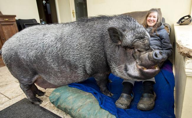 Chú lợn đang gây bão mạng xã hội những ngày vừa qua.