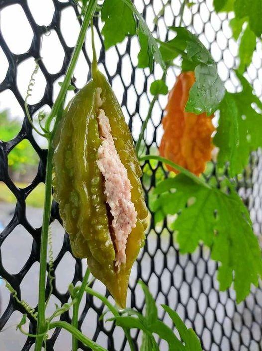 Trái khổ qua có cuống còn bám vào thân cây, nhưng lại trông như đã được 'nhồi thịt' rồi? Nguồn ảnh: Tini Banglangtim