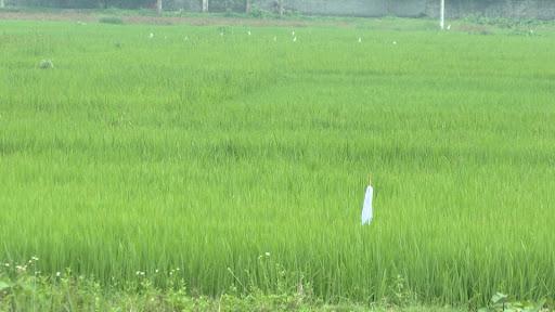 Một cánh đồng lúa tại Thái Bình (ảnh chỉ có tính chất minh hoạ)