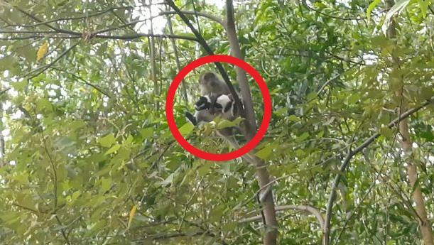 Con khỉ trèo tít lên ngọn cây, không cho ai tiếp cận.
