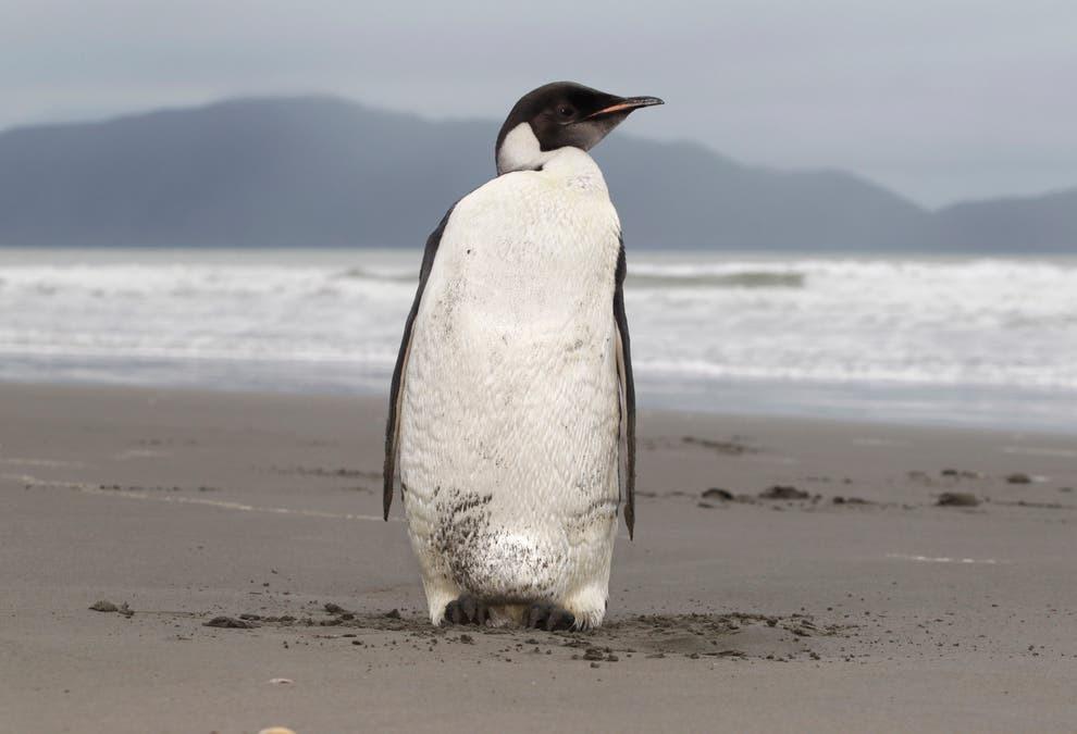 Chim cánh cụt có lẽ chính là sinh vật hành tinh khác đến Trái Đất?