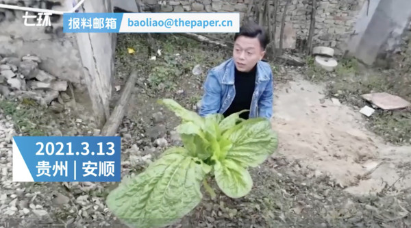 Chú rể họ Cảnh sử dụng cây cải khổng lồ làm hoa cưới thay thế.