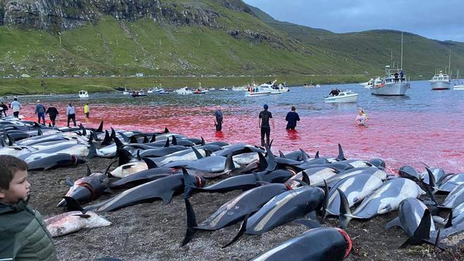 Hình ảnh hàng nghìn con cá hông trắng bị giết thịt. Ảnh:Sea Shepherd.