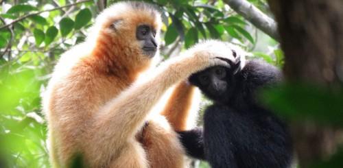Nỗ lực bảo tồn loài linh trưởng quý hiếm nhất thế giới