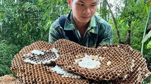 Nghề lạ: Nuôi loài ong kịch độc, thương lái Trung Quốc lùng mua
