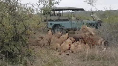 Bị gần chục con sư tử vật chổng vó ra đất, trâu rừng vẫn 'trở về từ cõi chết' một cách khó tin
