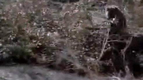 Đại bàng nhanh chân tóm được thỏ, ngờ đâu đó lại là đại họa khi tranh ăn với báo sư tử