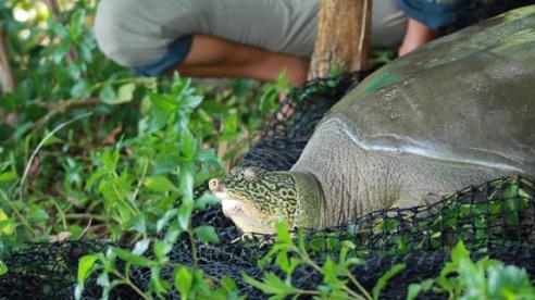 Cận cảnh cá thể rùa Hoàn Kiếm bắt được tại hồ Đồng Mô