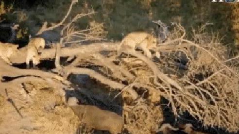 Ngược đời: Sư tử 'choáng ngợp' trước đàn trâu, thi nhau trèo lên cây lánh nạn