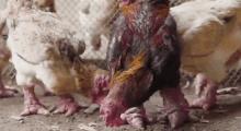 Cặp chân 'khủng' của gà Đông Tảo gây 'bão' triệu view trên báo nước ngoài