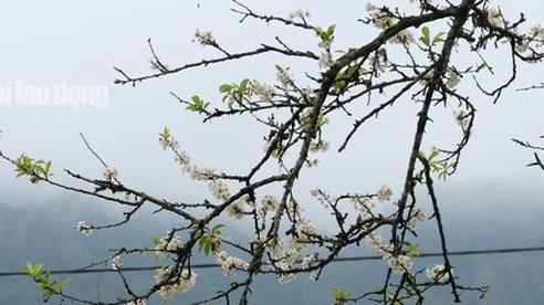 CLIP: Hoa mận nở trắng bản làng nơi biên cương Tổ quốc