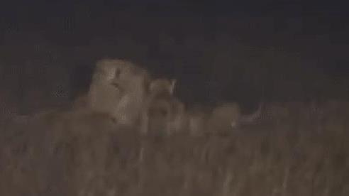 Không làm mà vẫn muốn có ăn, sư tử đực trẻ bị những con cái 'hành hung' rất đáng sợ