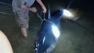 Cá mập xanh 'khủng' còn dính lưỡi câu dạt vô sông Bến Hải
