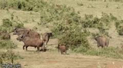 """""""Bắt nạt"""" voi con, đàn trâu rừng bỏ chạy chối chết vì bị phản đòn"""