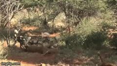 Kinh hoàng cảnh linh dương bị chó hoang ăn sống nội tạng vẫn cố hết sức chạy thoát thân