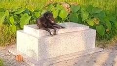 Chú chó quấn quýt không rời mộ cậu chủ suốt 3 năm ròng