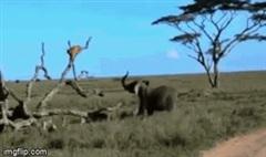 Bị voi rừng nổi điên truy sát, sư tử phải leo lên cây lánh nạn