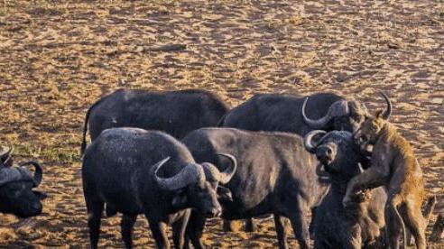 Sư tử rơi vào vòng vây của hơn 100 con trâu rừng: Cái chết bi thảm ngay trên lưng kẻ thù